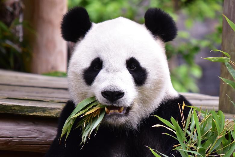 Wu Wen - Wu Wen in dierenpark Ouwehands.