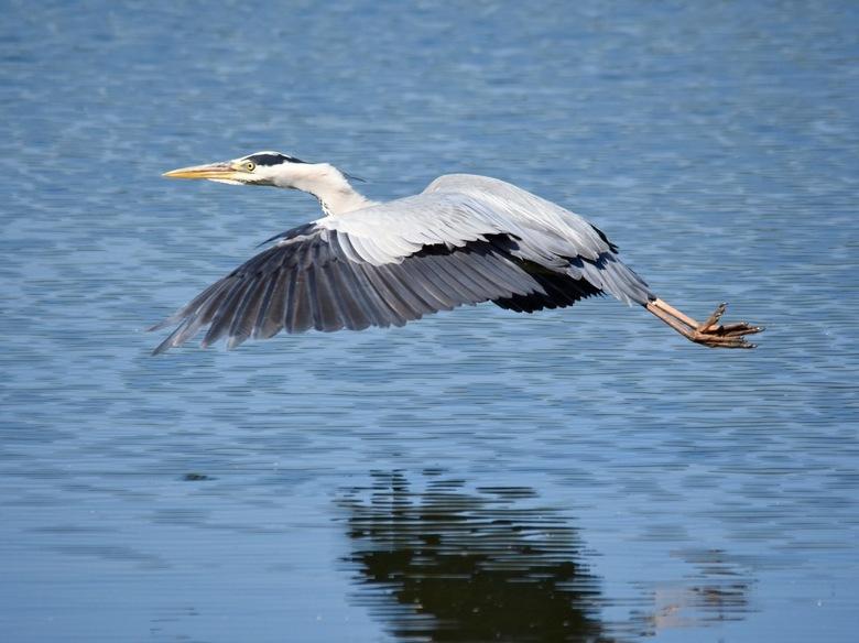 Blauwe reiger  - blauwe reiger op de vleugels, het kalme water krijgt soms een streepjes effect op een foto