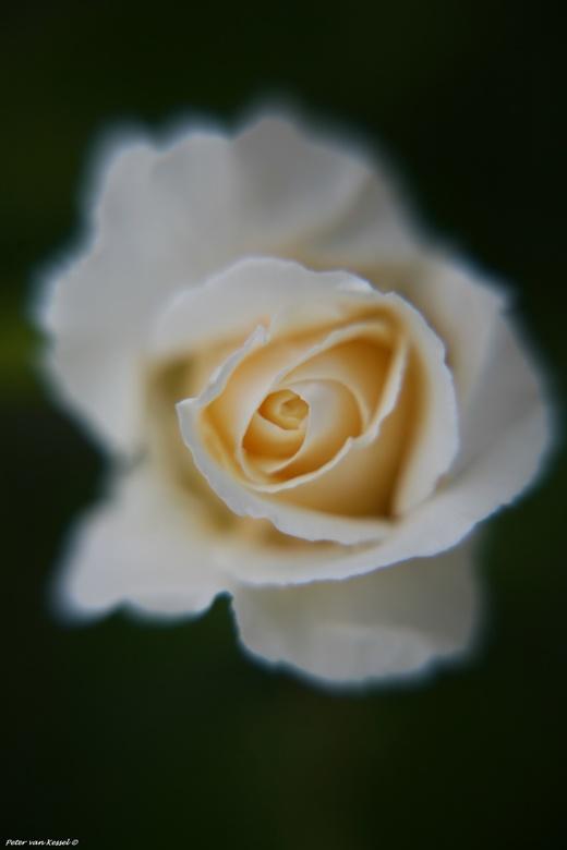 Rosa Bianca - Witte roos die de storm heeft doorstaan.