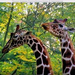 L'amour de deux giraffes...