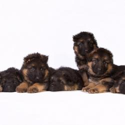 Duitse Herder pups - Complete nest
