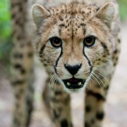 Cheetah bij Burgers' Zoo