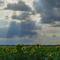 Zonnebloemen Valtherdijk