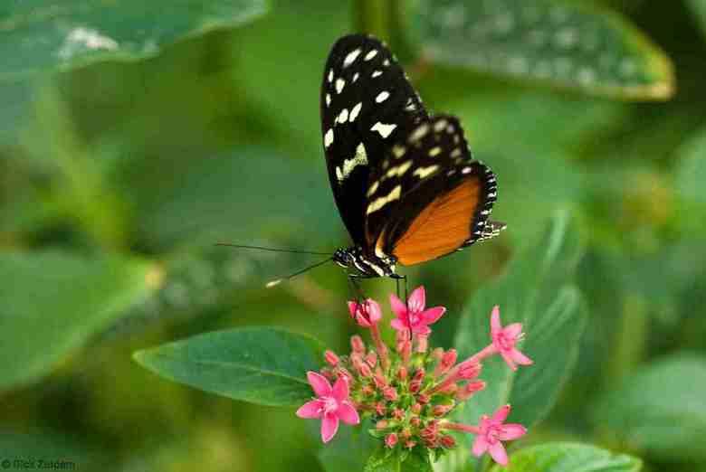vlinder op bloem - gefotografeerd in de vlindertuin in de orchideeënhoeve te Luttelgeest