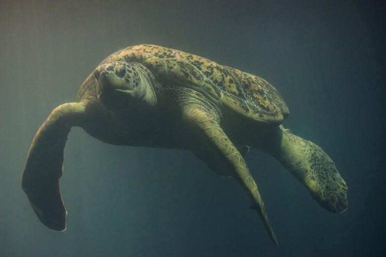 Groene zeeschilpad - Tijdens mijn laatste bezoek aan Wildlands bleken de zeeschildpadden er nog steeds te zitten. Er waren niet veel mensen dus eens r