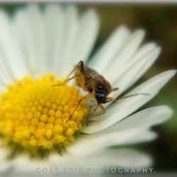 Little insect on a Daisy.