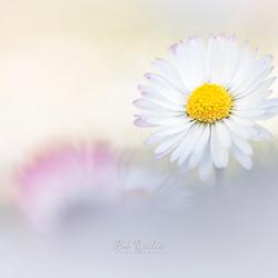 Peaceful daisy