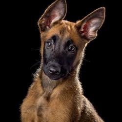 Mechelse herder pup