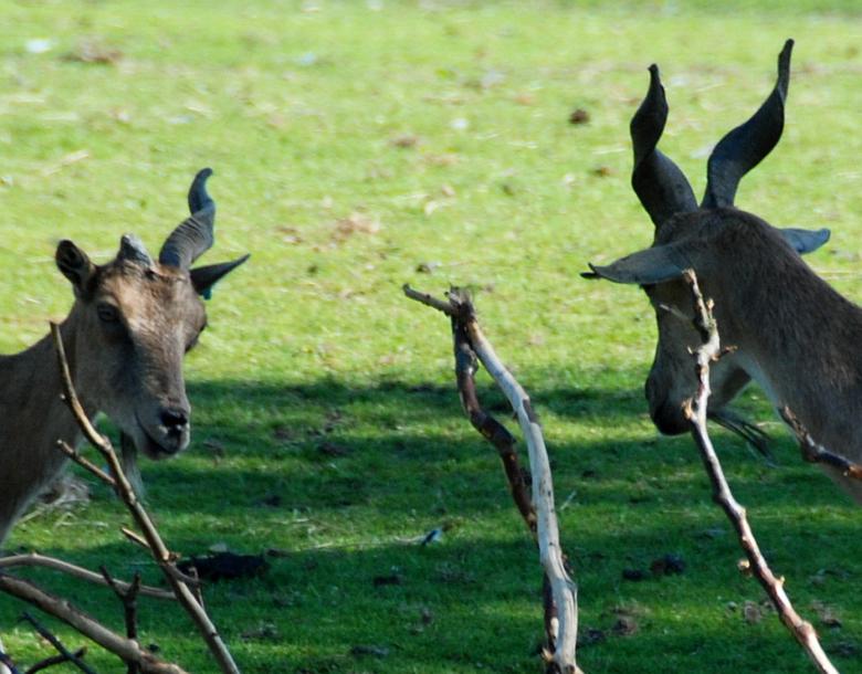 Hoorns:  heee, laaaat dat ! - Waarover praten zij? Tja, wederom Safaripark Beekse Bergen: wat je soms al niet ziet  -als je goed kijkt- !<br /> Foto