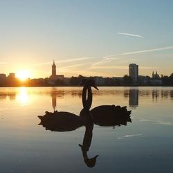 Zwarte zwanen bij zonsopgang aan de Maas in Roermond
