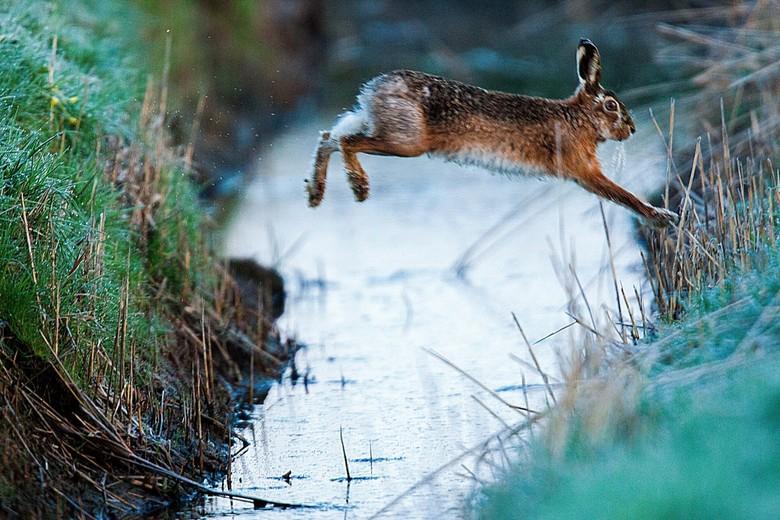 Jump - Een hazensprong zien is een mooie waarneming, een sprong van nabij vastleggen is al een hele uitdaging (foto is geen crop). Nu heb ik nog de we