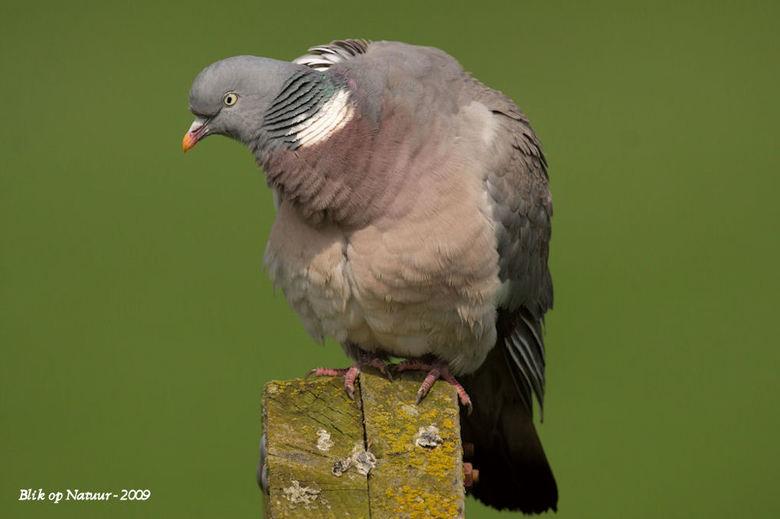 Houtduif - Wat:<br /> De houtduif (Columba palumbus)is een vogel die in Nederland overvloedig voorkomt. Dat was wel eens anders, want in het verleden
