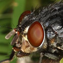 Vliegenkop