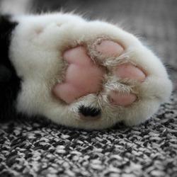 Kattenpootje