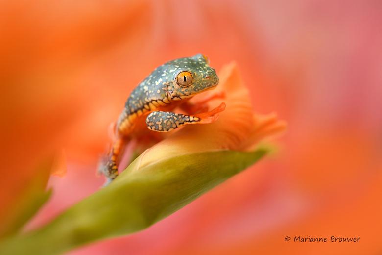 Cruziohyla craspedopus - Een bijzondere naam voor een bijzonder kikkertje... 't is toch net niet echt, maar echt, het is echt!