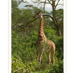 Rothschild Giraffe, Kenia