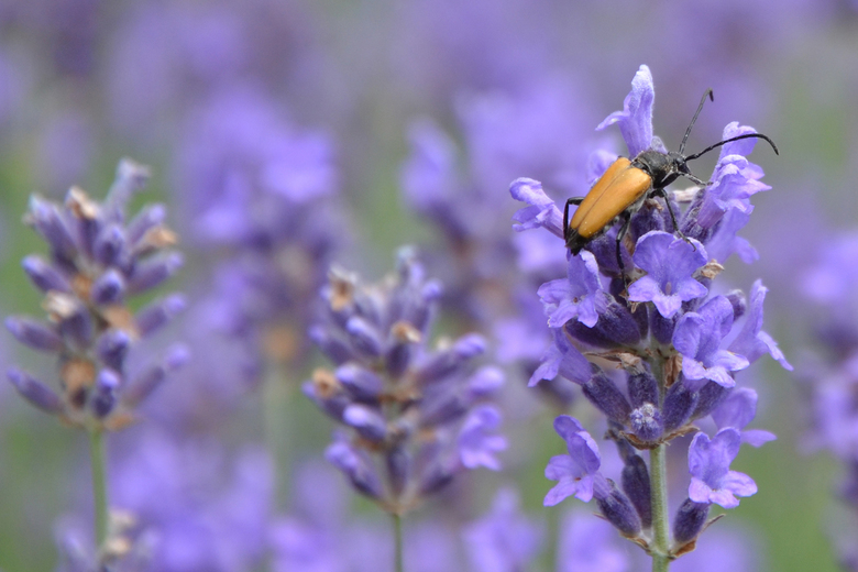 Vreemde snuiter - In mijn poging hommels te fotograferen kwam ik deze vreemde snuiter tegen in de lavendel. Ik ken hem niet, jullie wel? Hij zat in el