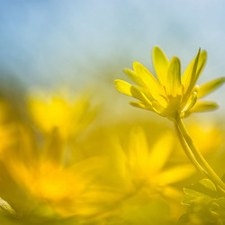 Gele gloed