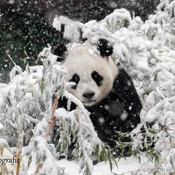 Reuzenpanda in de sneeuw