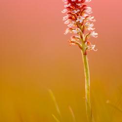 Aangebrande orchis
