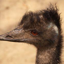 Struise struisvogel..
