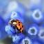 lieveheers beestje in het blauw