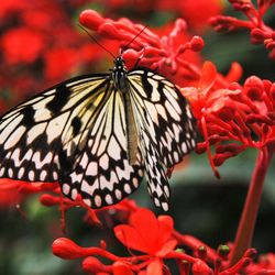 vlinder (Idea Leuconoe)
