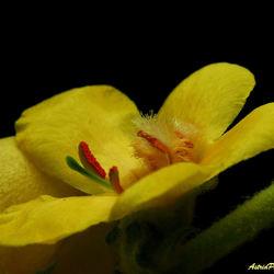 gele bermbloem