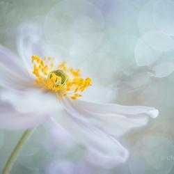 Rêverie de fleur