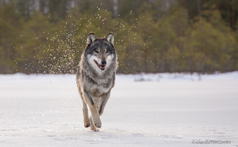 Wolf - Krasny Bor, Belarus.