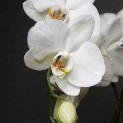 Orchidee (14).JPG