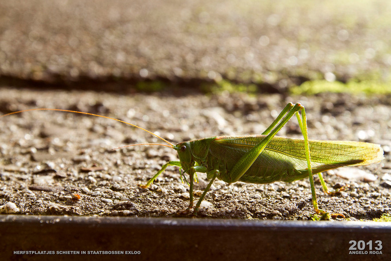Lonely Grashopper - .