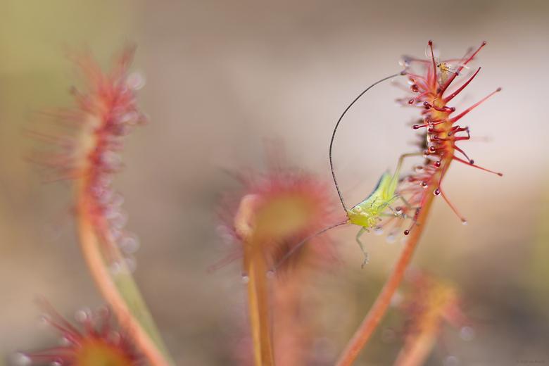 Minuscuul - een heel klein sprinkhaantje in de ook al zo kleine zonnedauw gevangen, rechts bovenin nog een slachtoffertje.