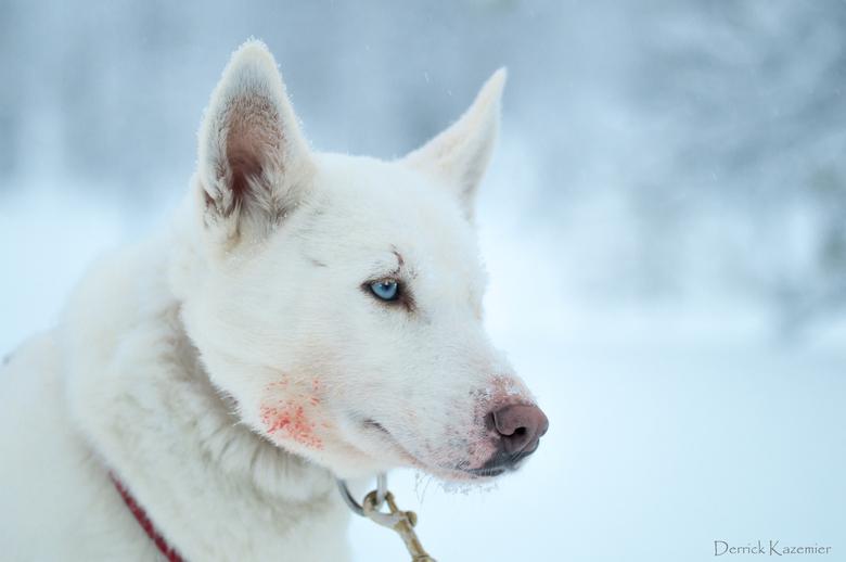 """Jasmine - Tijdens het voorttrekken van de huskyslee kunnen de honden het niet laten om sneeuw te """"drinken"""", wat er soms toe leid dat het ijs"""
