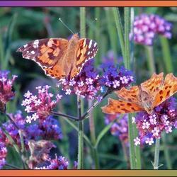 Mijn vlindertuin