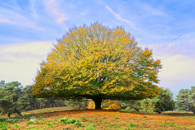 Eén van de laatste herfstplaatjes - Dit zal waarschijnlijk één van de laatste herfstfoto's zijn van dit jaar. Deze imposante beukenboom stond daa