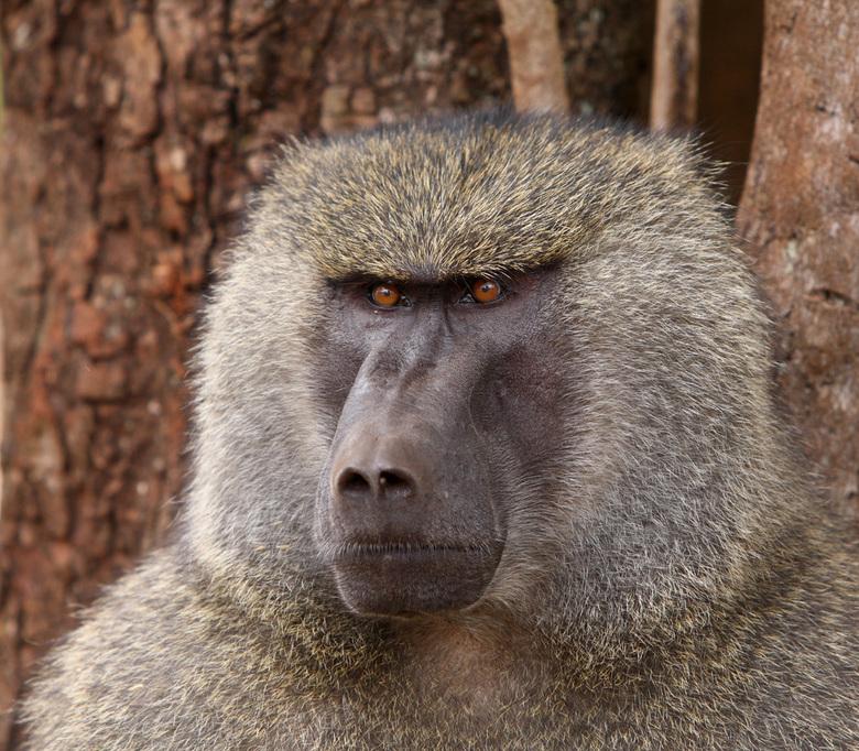 Portret van een baviaan - Bij de ingang van Ngorongoro National Park zijn de bavianen wel mensen gewend. Deze kerel zat met zijn arrogante kop lekker