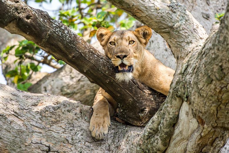 Oog in Oog - Het moment dat je oog in oog staat met een unieke boomklimmende leeuwin in Uganda is een moment waar je fotografiehart mee op hol slaat.