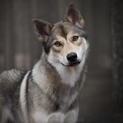 Tamaskandog