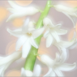 WITTE HYACINTH
