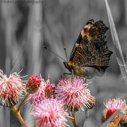 Vlinder met een maaltijd