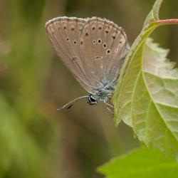 Zeldzaam Gentiaanblauwtje (ondersoort?)