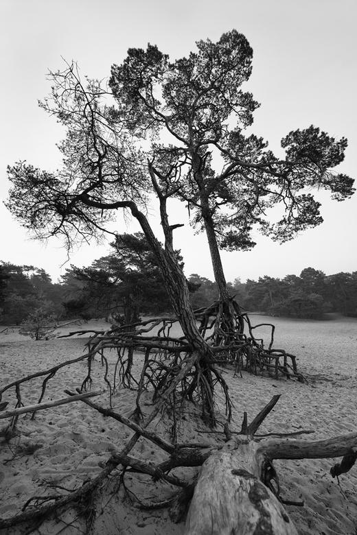 Panbos Zeist - Panbos in Zeist, 's morgens vroeg op de zandvlakte. In zwart-wit en met wat extra contrast en structuur vond ik het beeld een stuk