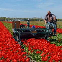 Tulpen gekopt