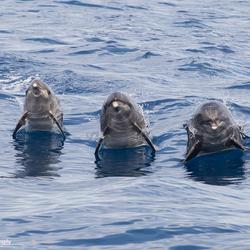 Tuimelaar dolfijnen bij Tenerife
