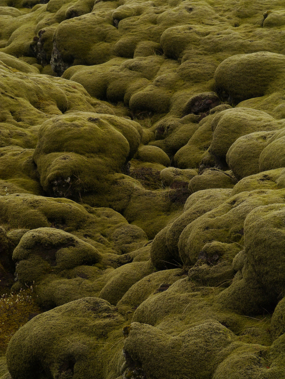 Mos op lavaveld in ijsland - Mos op lavaveld in ijsland