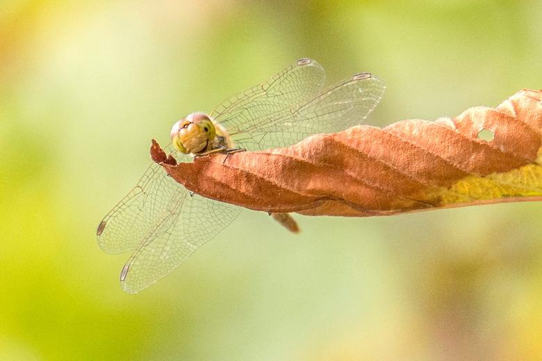 Libel snoepend aan het verdorde blad - Mooi de libellen spotten in je eigen tuin