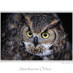 Amerikaanse Oehoe