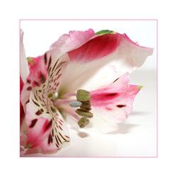 Roze tijgerbloempje