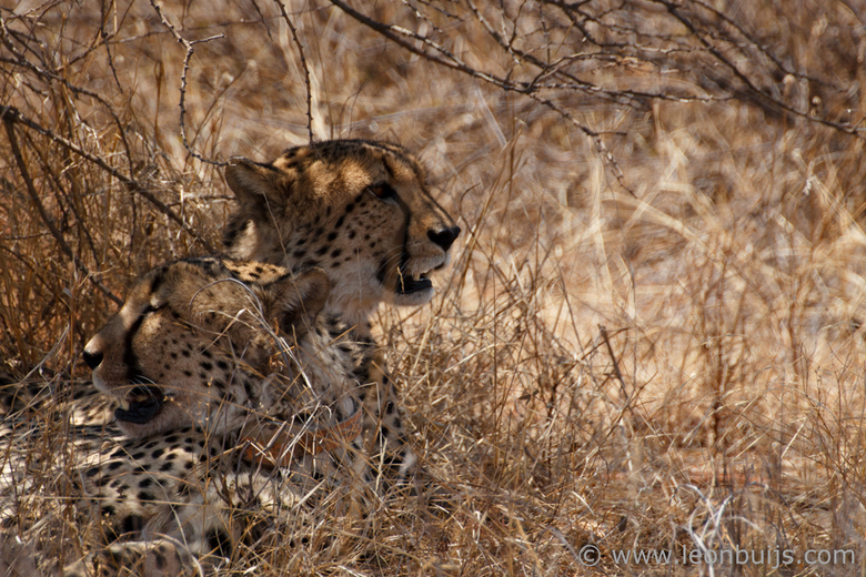 Cheetah Tracking - Twee Cheetah&#039;s bij Umkwali Predator &amp; Wildlife Conservation Project in Zuid Afrika. <br />